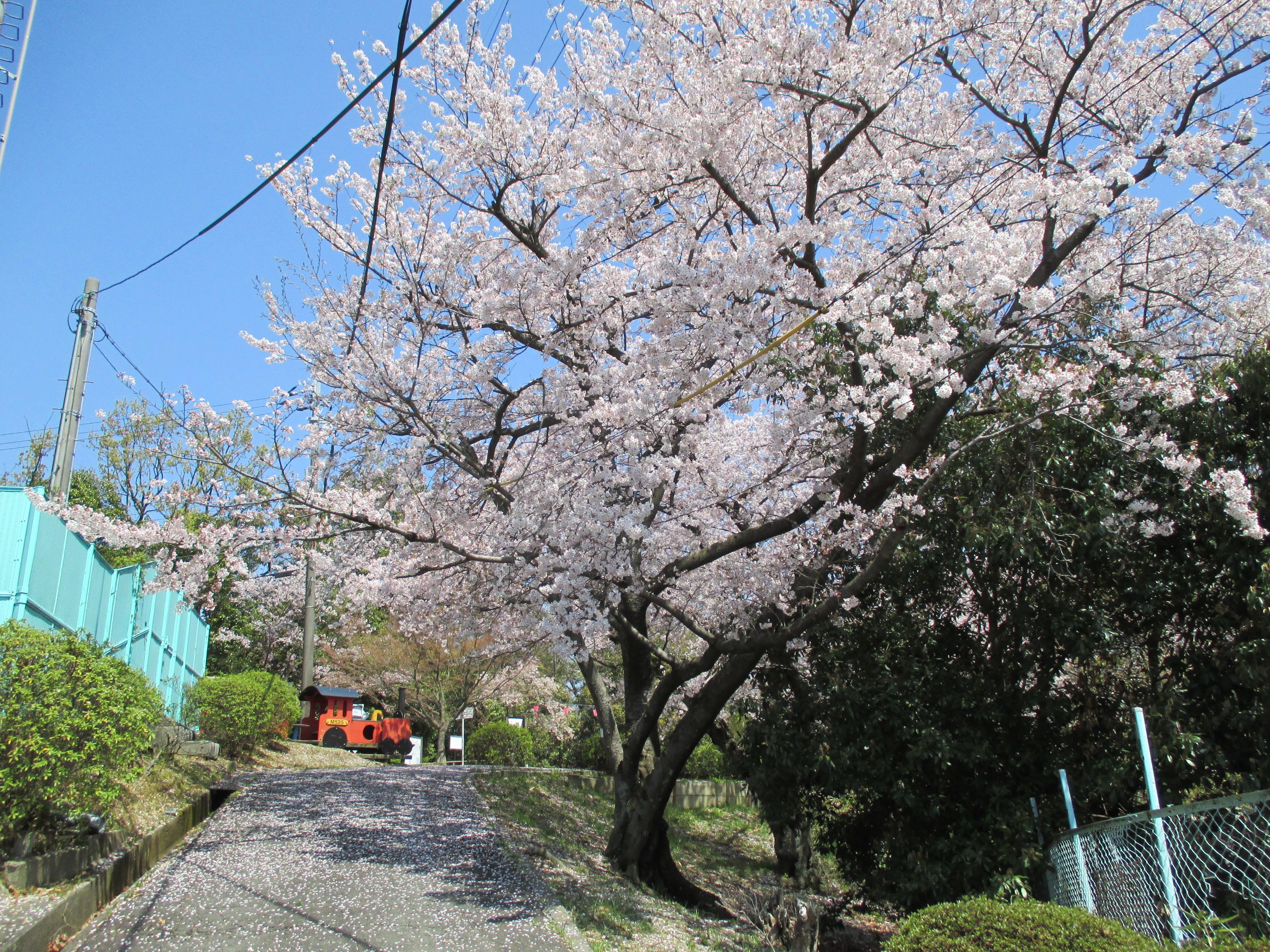 http://www.city.kashiwara.osaka.jp/_files/00184540/sakura11.jpg