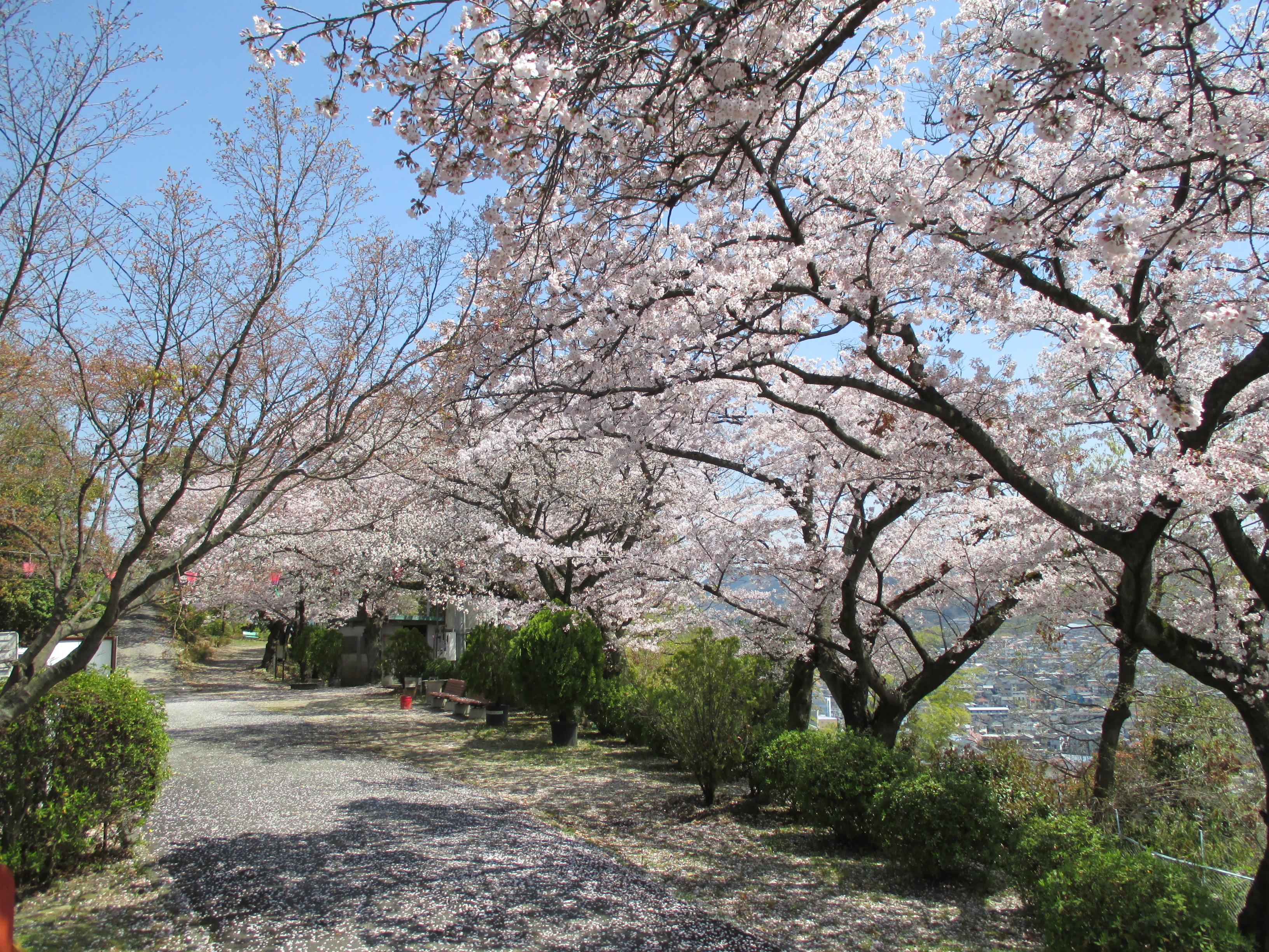 http://www.city.kashiwara.osaka.jp/_files/00184557/sakura12.jpg