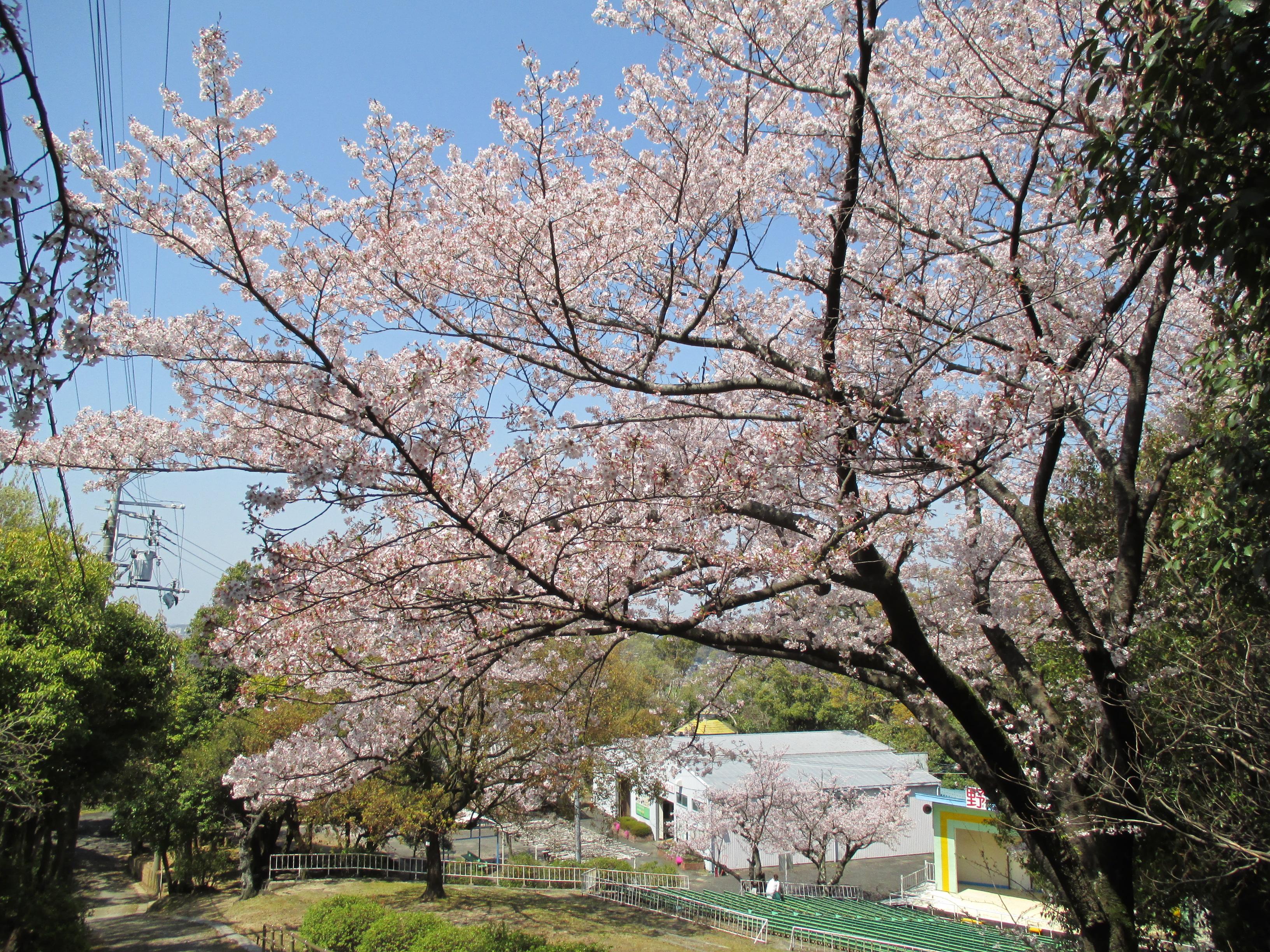 http://www.city.kashiwara.osaka.jp/_files/00184564/sakura13.jpg