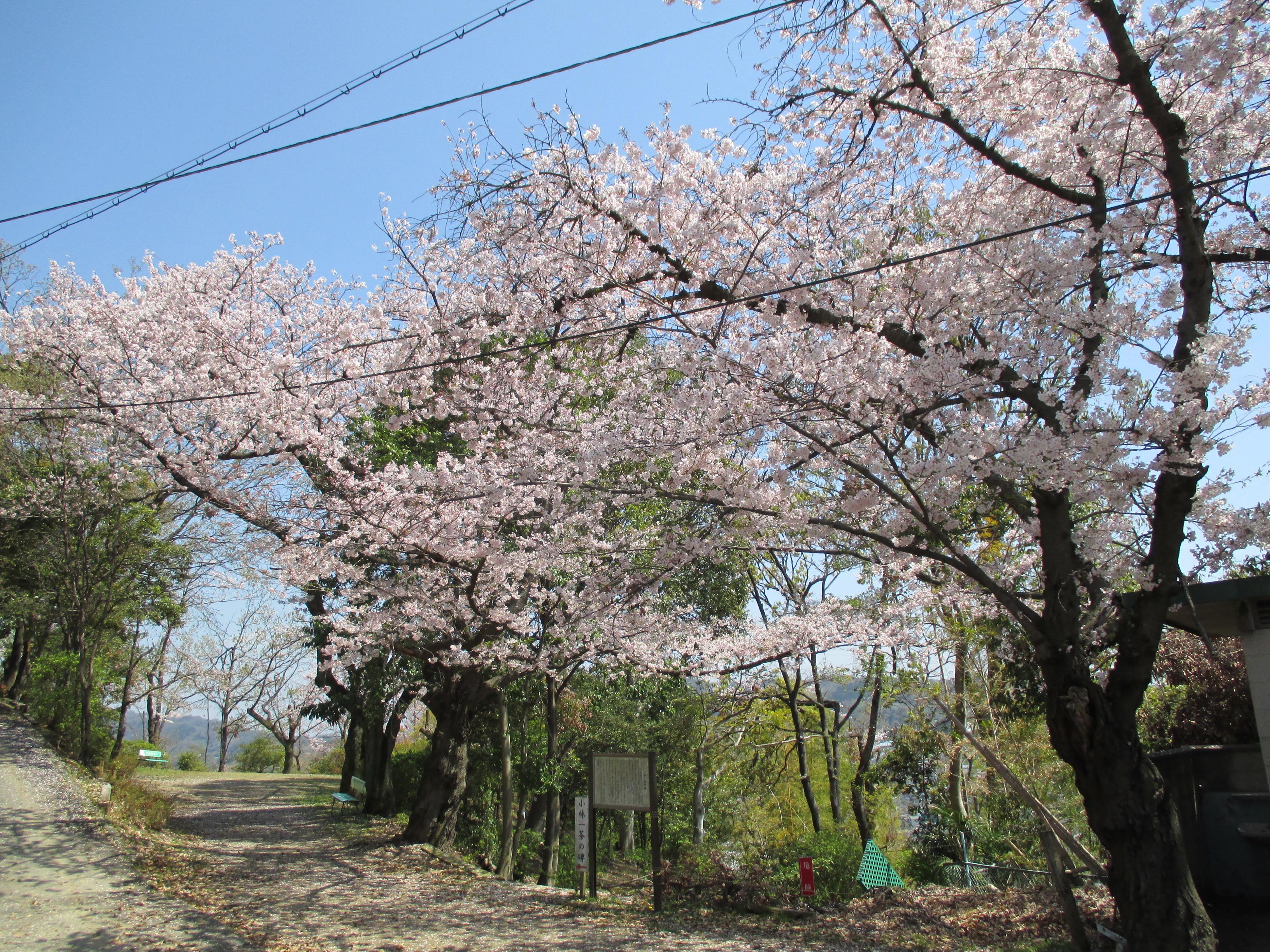 http://www.city.kashiwara.osaka.jp/_files/00184595/sakura16.jpg