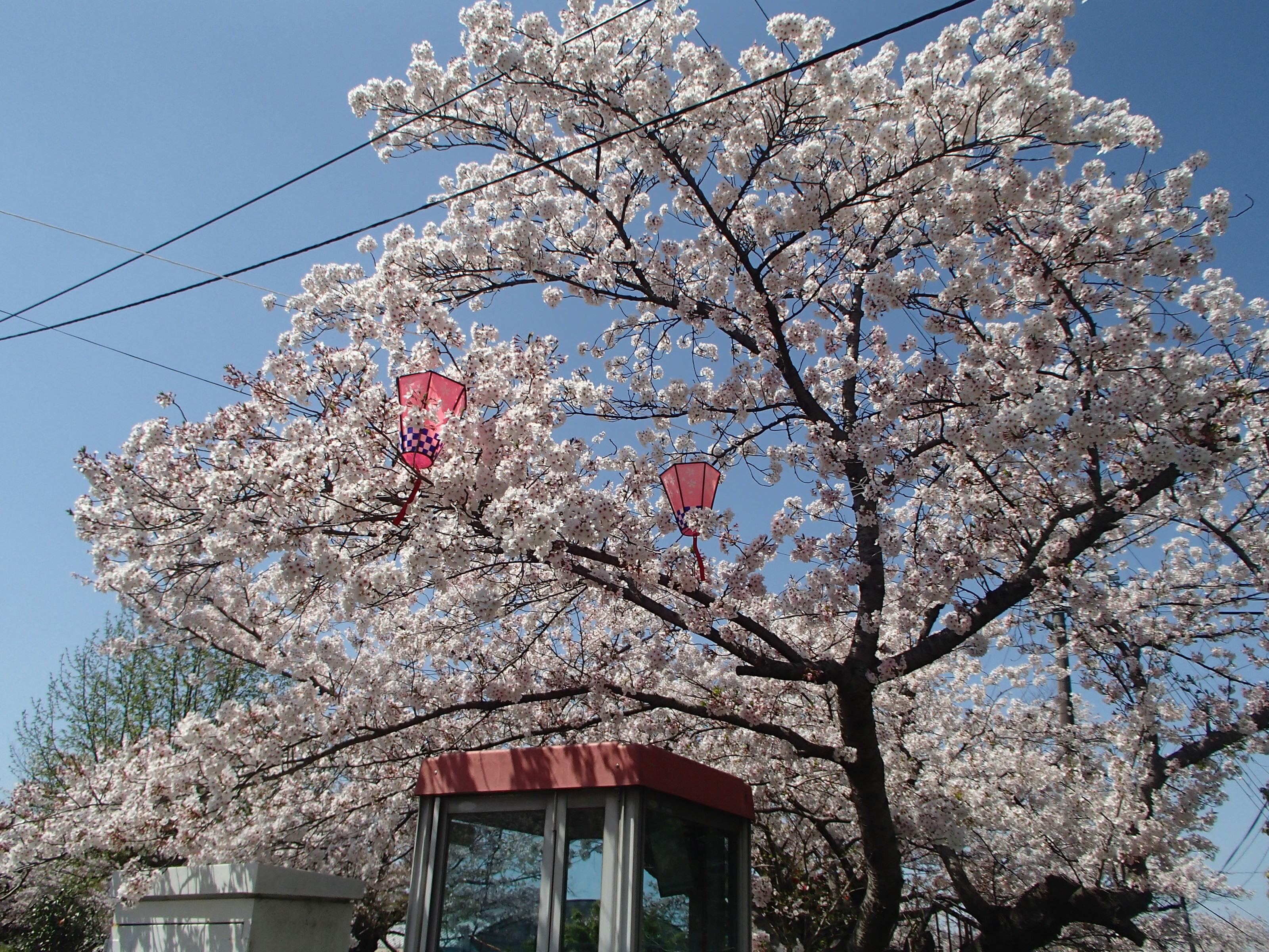 http://www.city.kashiwara.osaka.jp/_files/00184656/sakura18.jpg