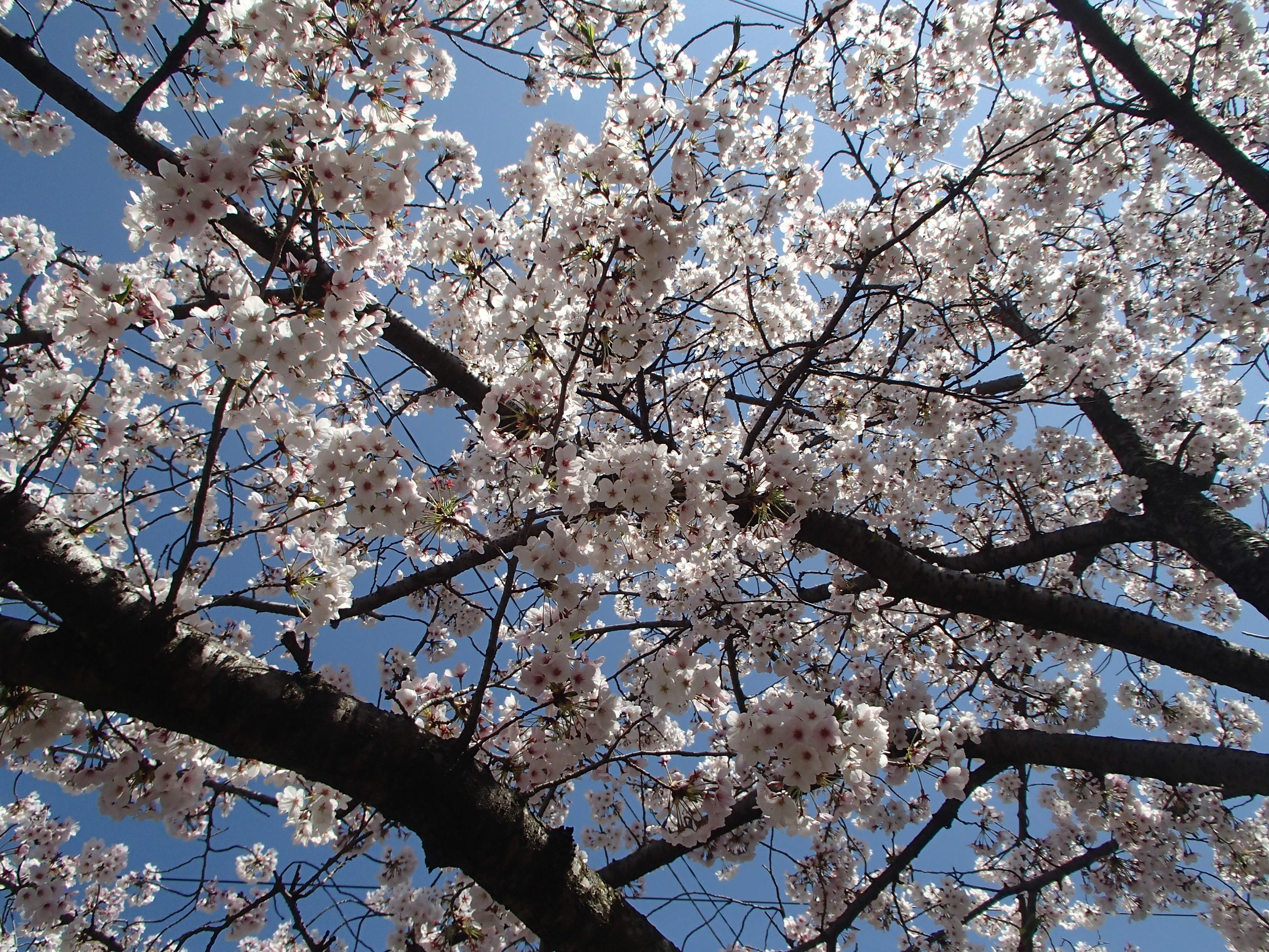 http://www.city.kashiwara.osaka.jp/_files/00184663/sakura19.jpg