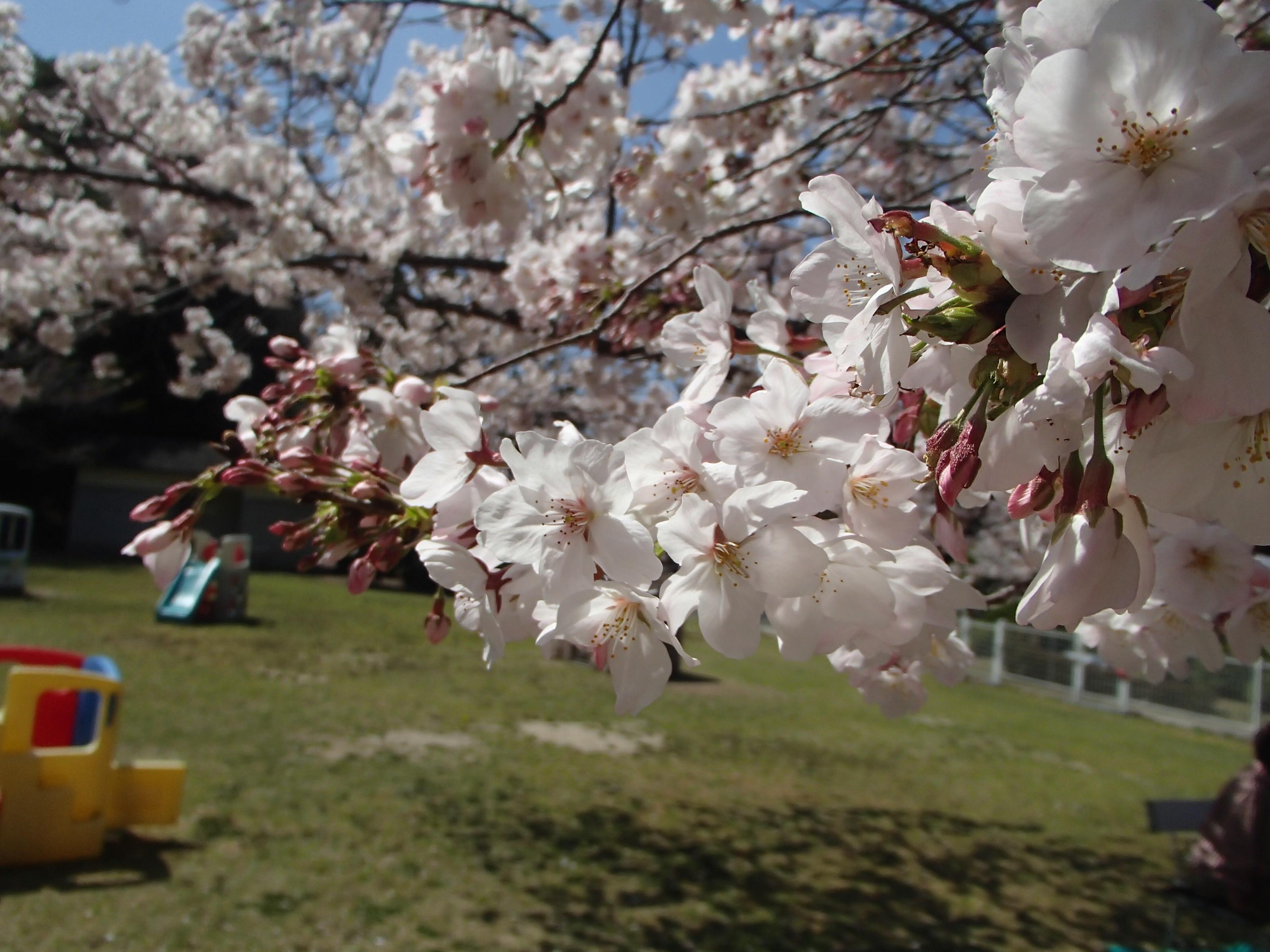 http://www.city.kashiwara.osaka.jp/_files/00184670/sakura20.jpg
