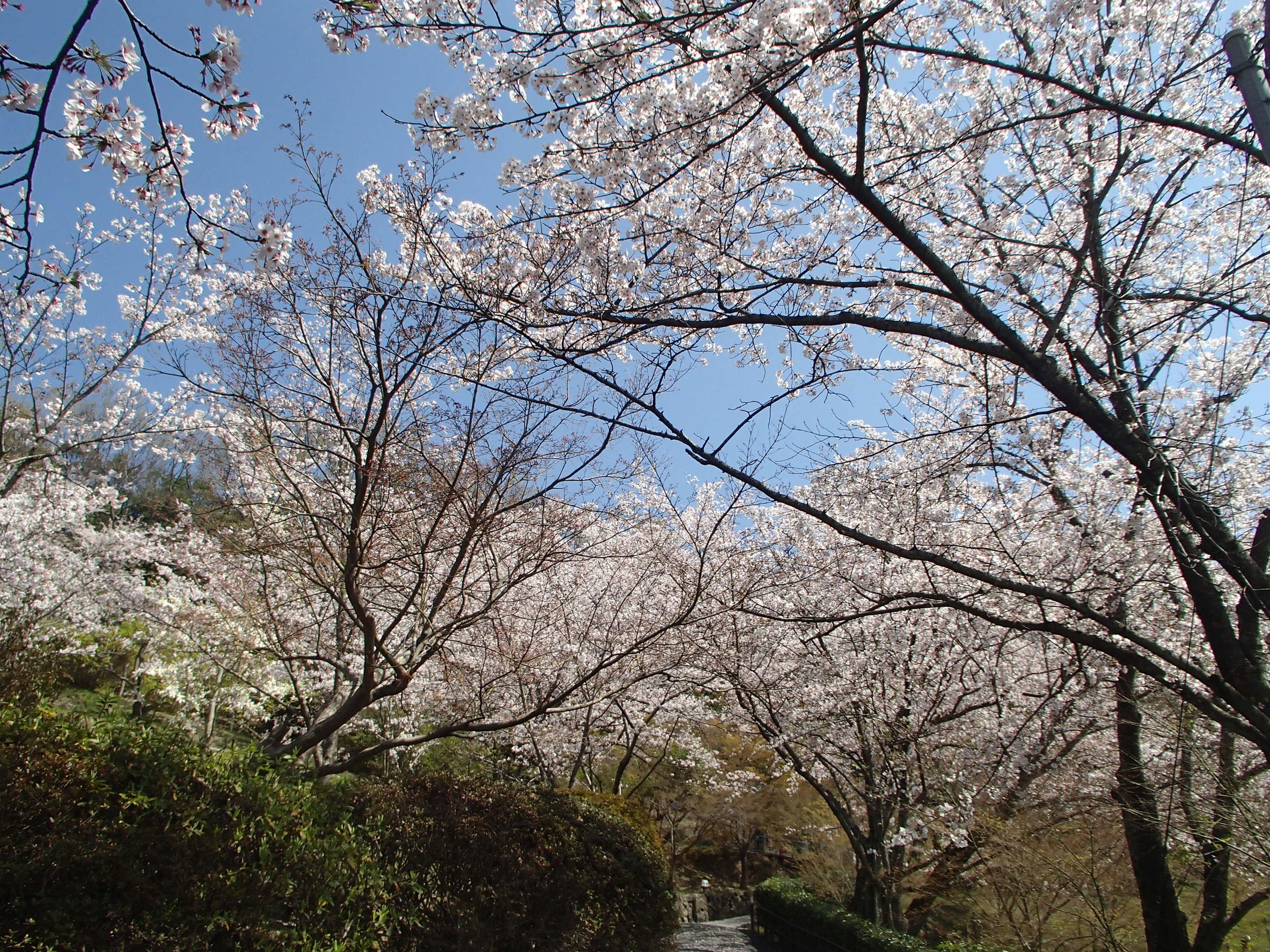 http://www.city.kashiwara.osaka.jp/_files/00184687/sakura21.jpg