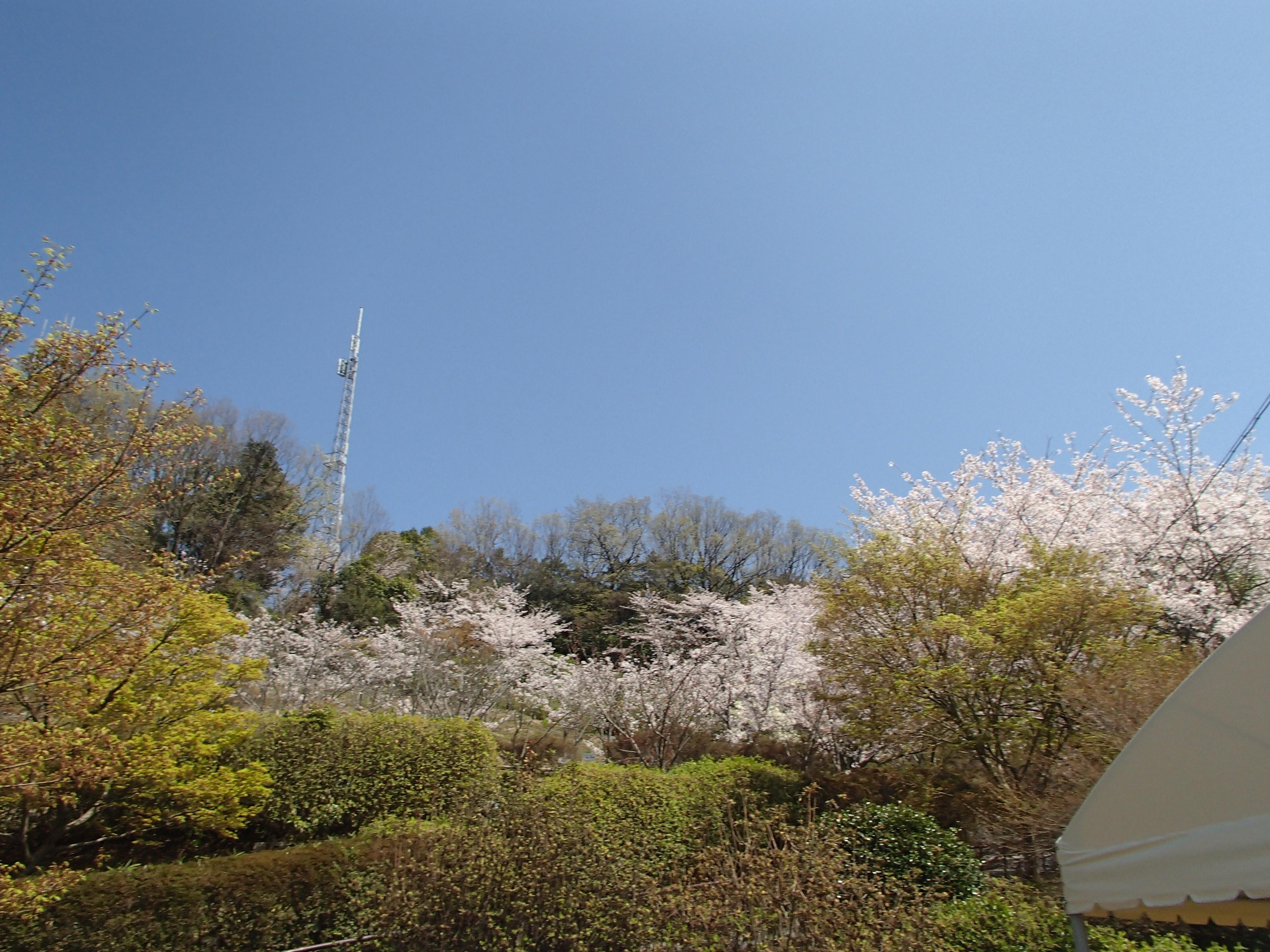 http://www.city.kashiwara.osaka.jp/_files/00184694/sakura22.jpg