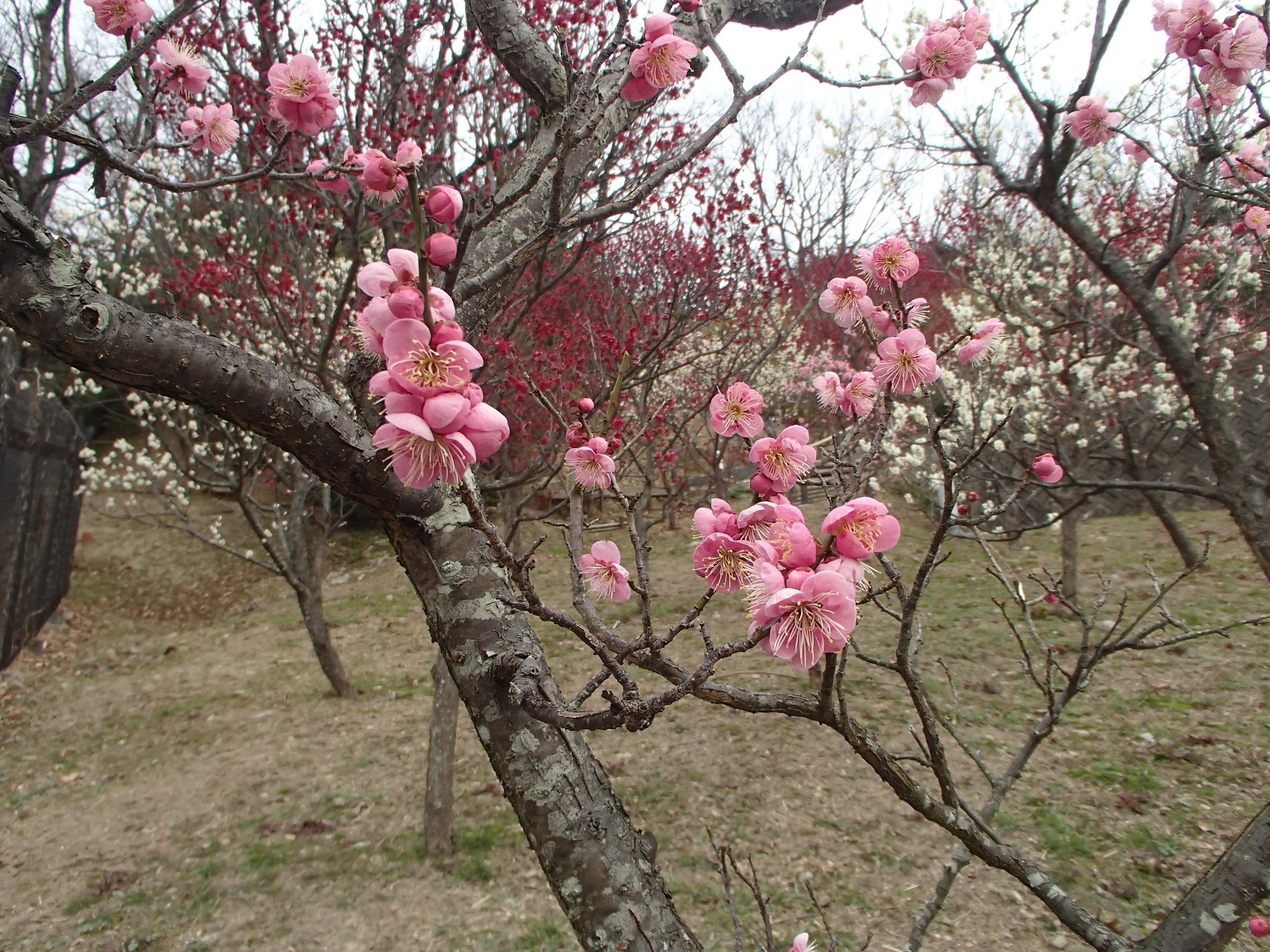 http://www.city.kashiwara.osaka.jp/_files/00207393/2020ume20.jpg