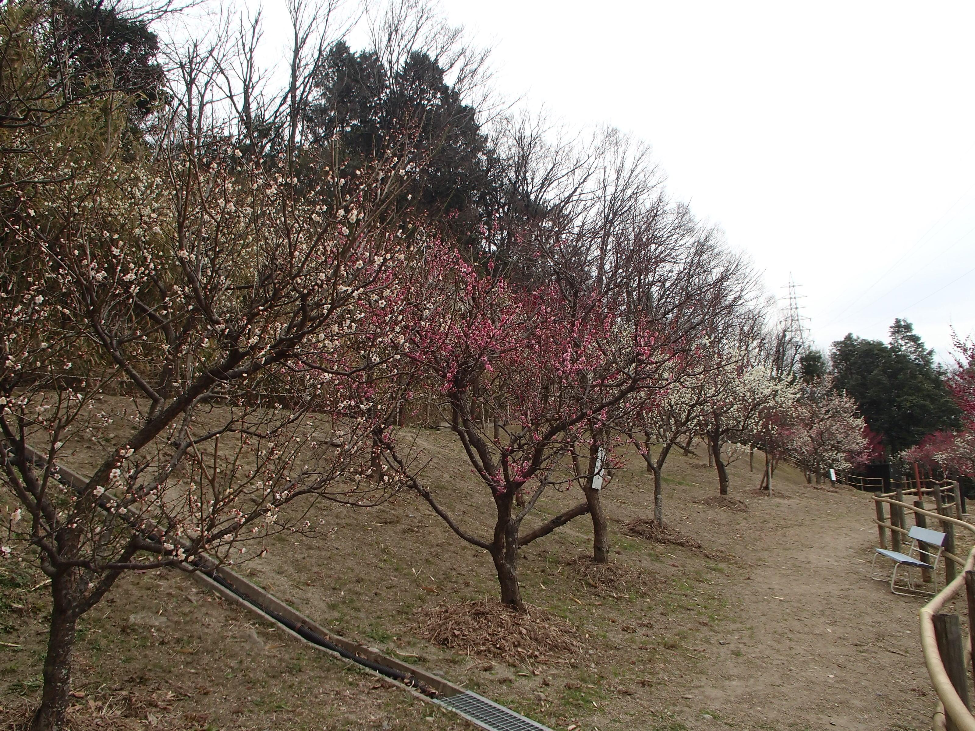 http://www.city.kashiwara.osaka.jp/_files/00207409/2020ume21.jpg