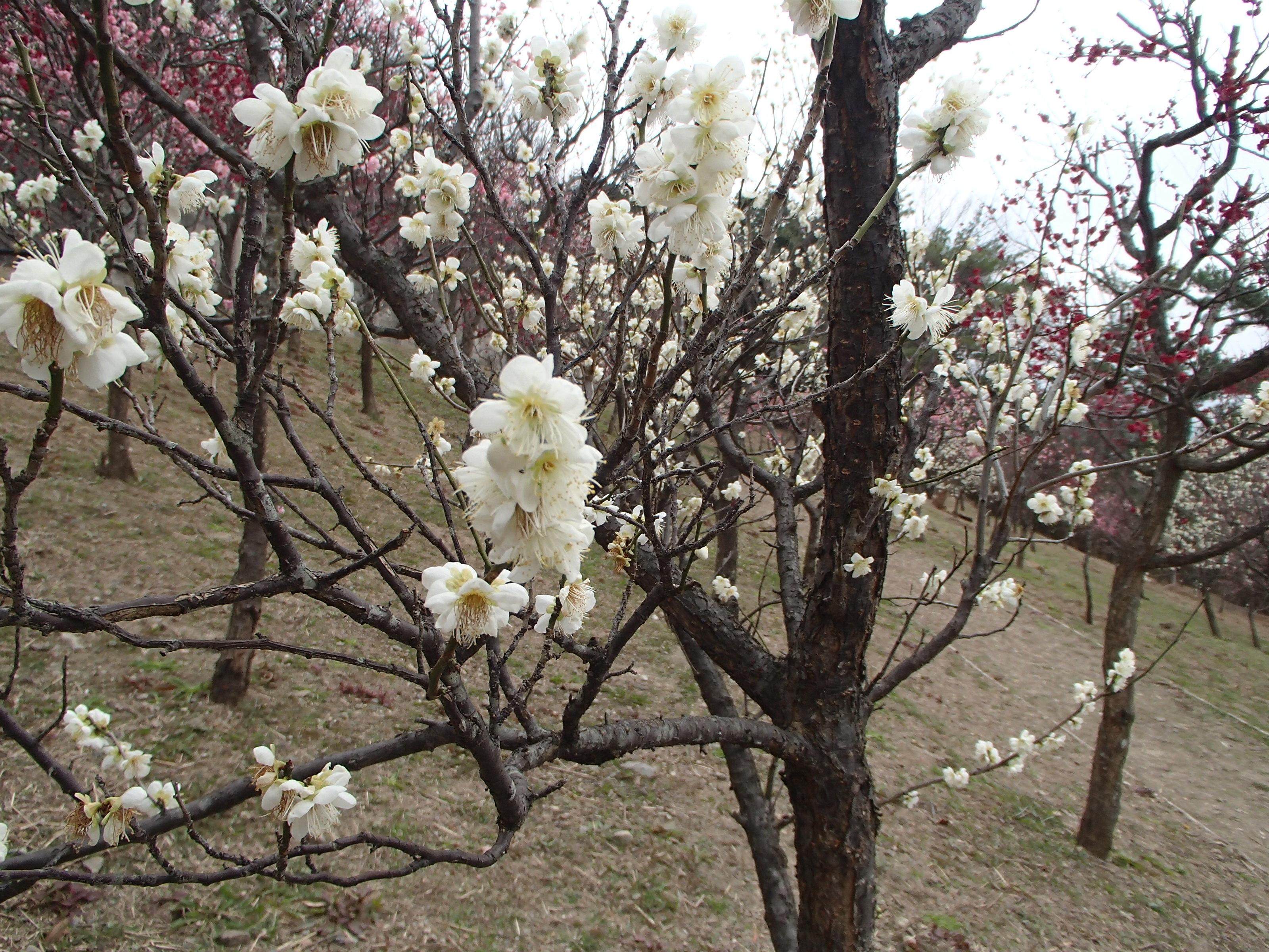 http://www.city.kashiwara.osaka.jp/_files/00207416/2020ume22.jpg