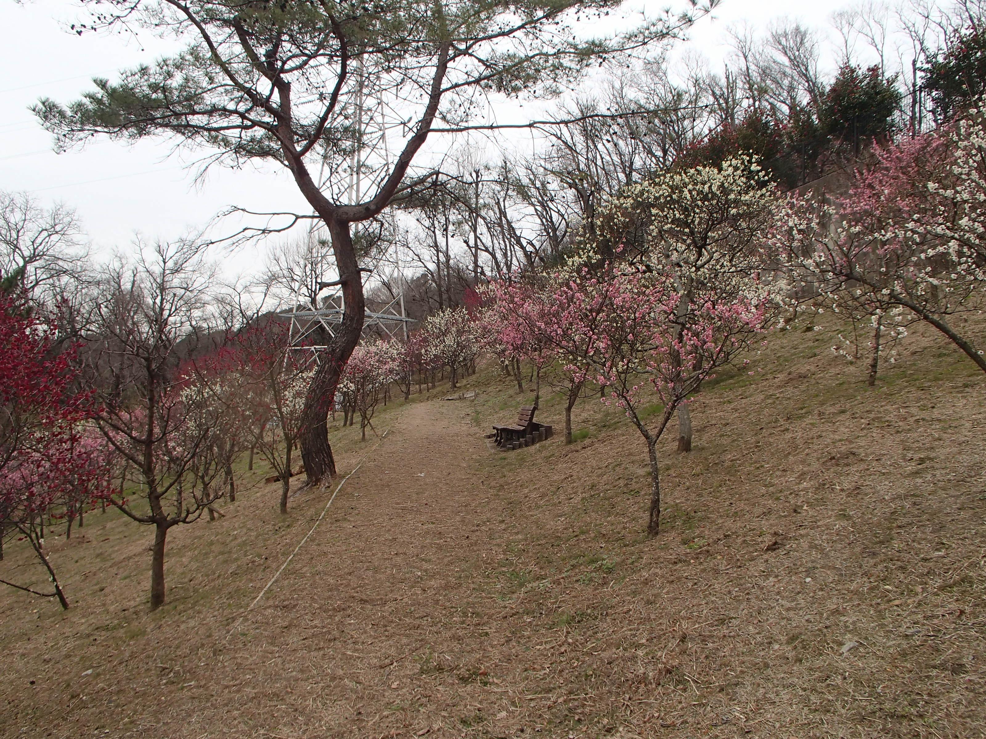 http://www.city.kashiwara.osaka.jp/_files/00207423/2020ume23.jpg