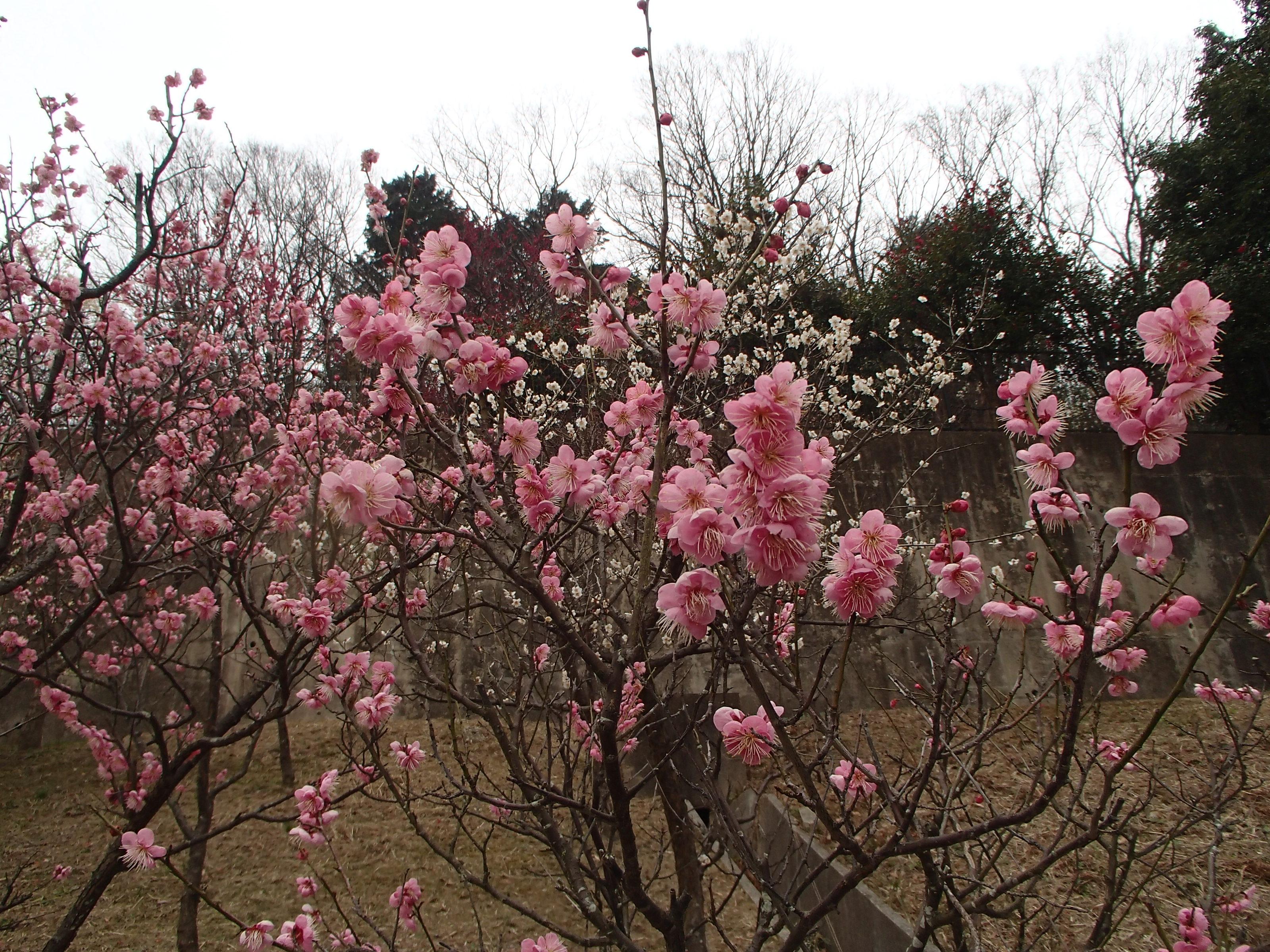 http://www.city.kashiwara.osaka.jp/_files/00207430/2020ume24.jpg