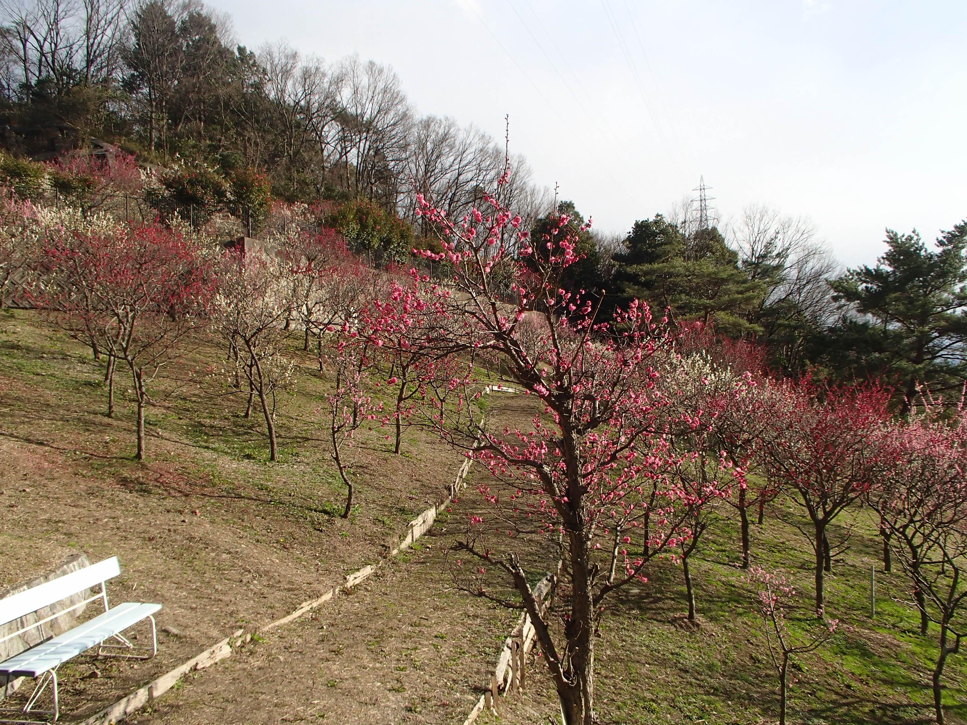 http://www.city.kashiwara.osaka.jp/_files/00207881/2020ume25.jpg