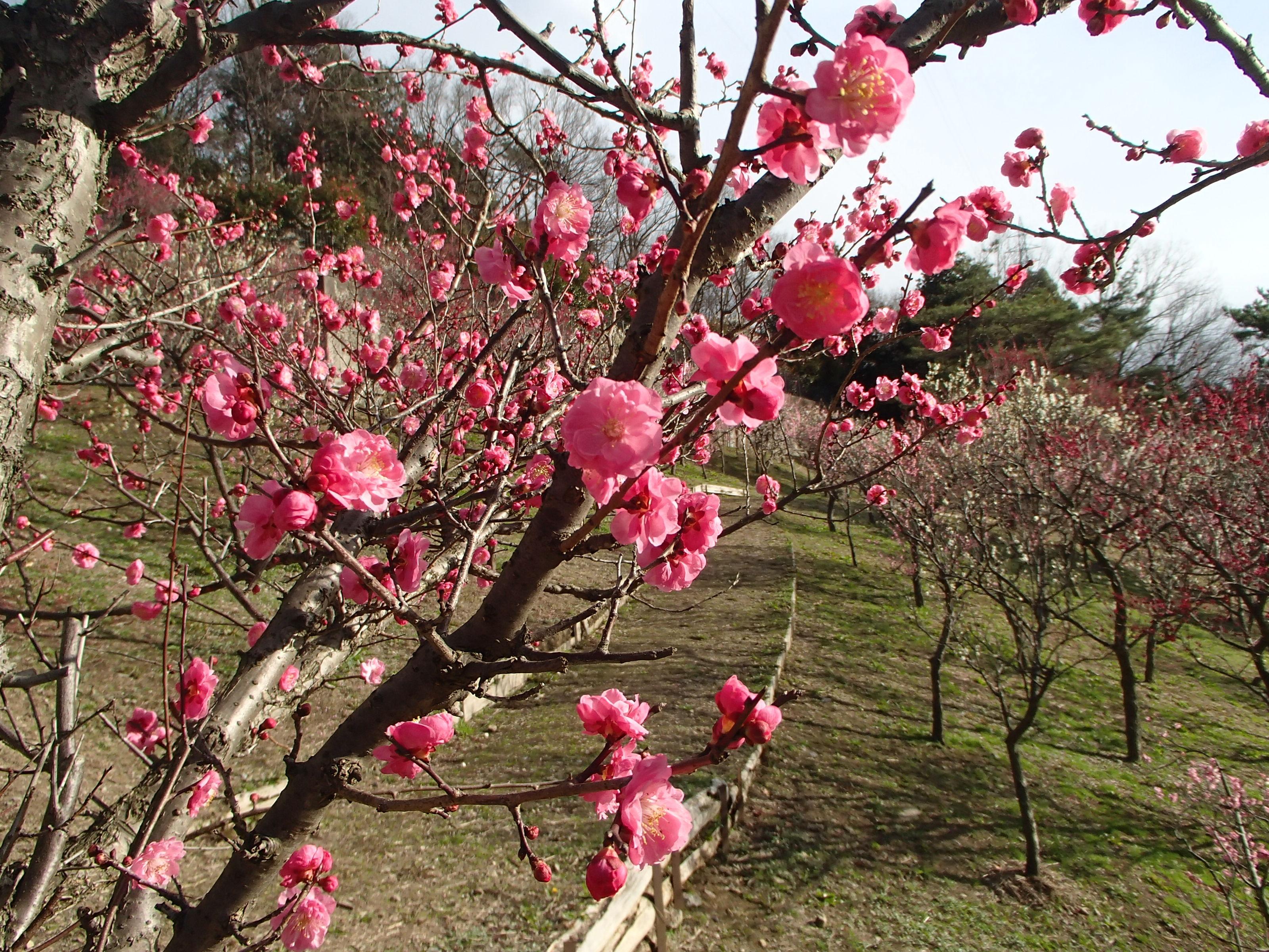http://www.city.kashiwara.osaka.jp/_files/00207898/2020ume26.jpg
