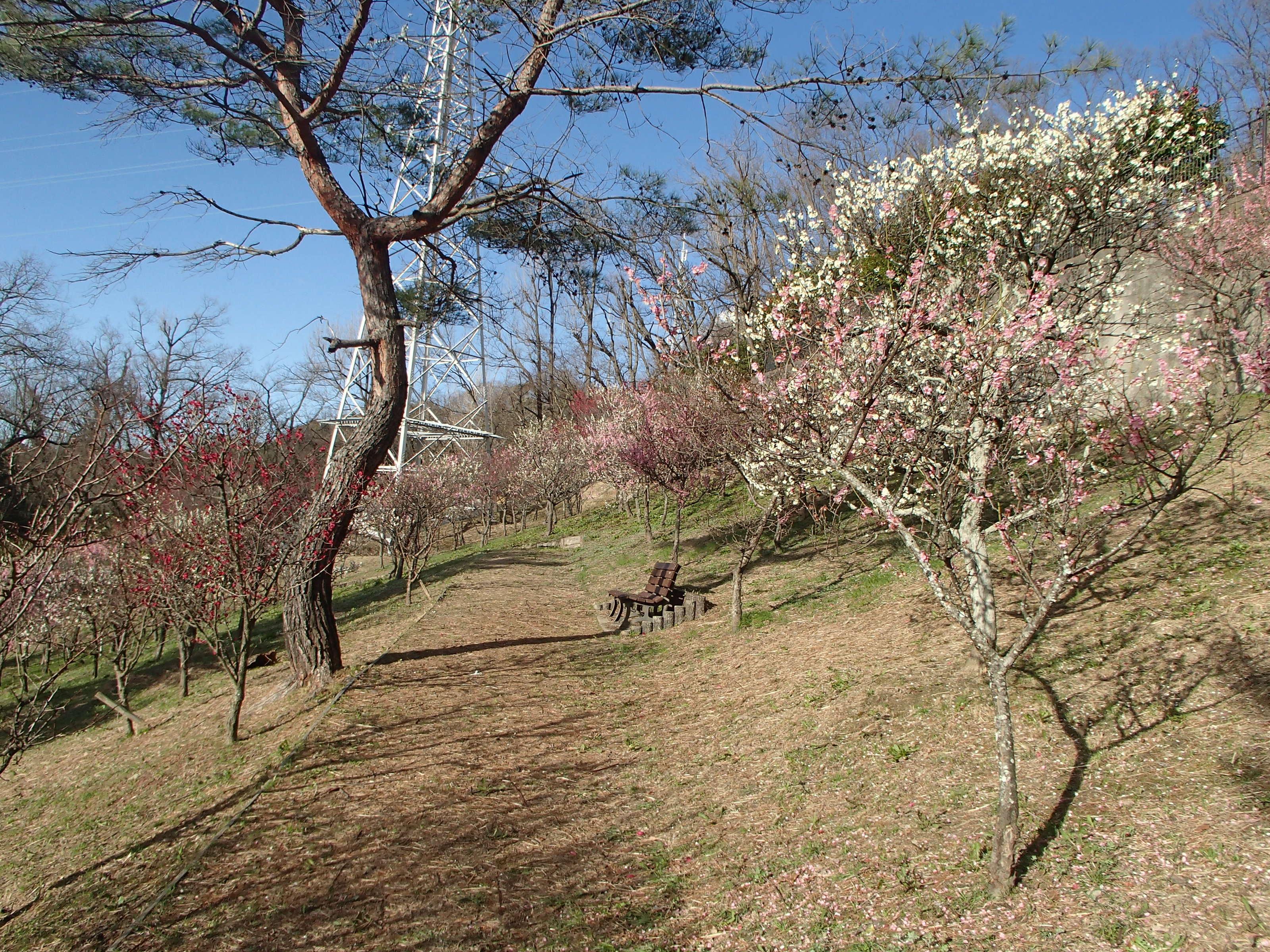 http://www.city.kashiwara.osaka.jp/_files/00207904/2020ume27.jpg