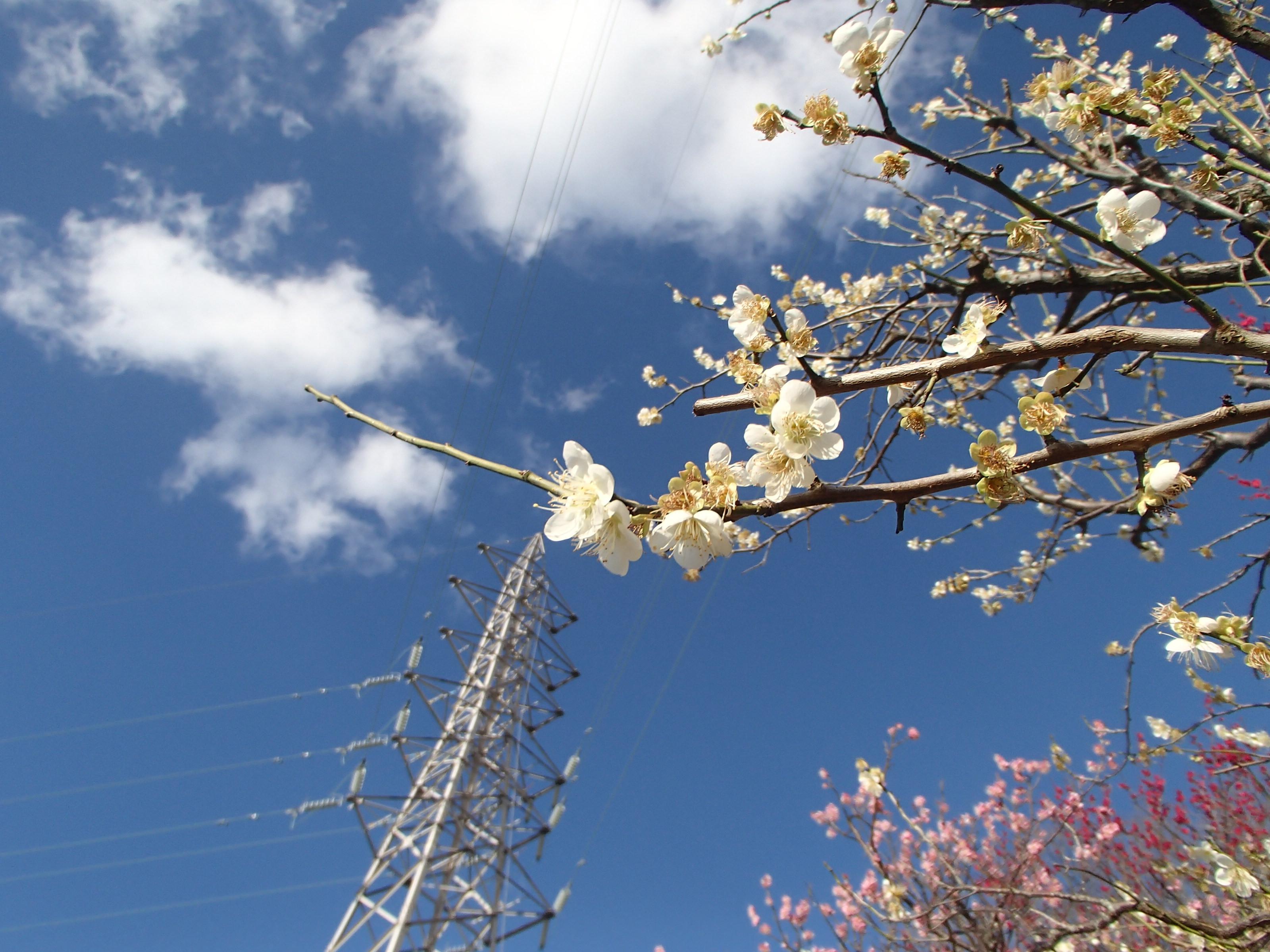 http://www.city.kashiwara.osaka.jp/_files/00207911/2020ume28.jpg