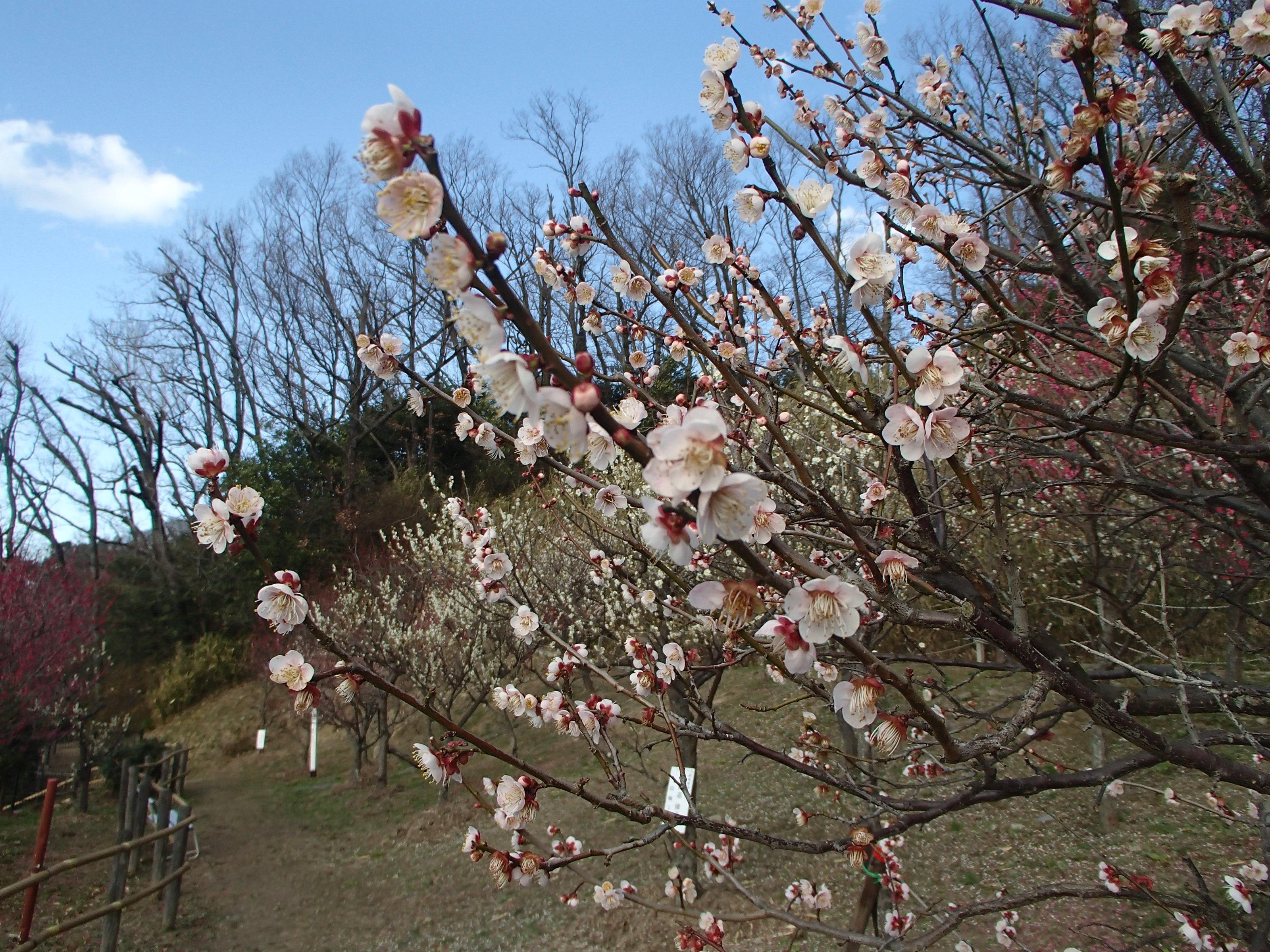 http://www.city.kashiwara.osaka.jp/_files/00207935/2020ume30.jpg